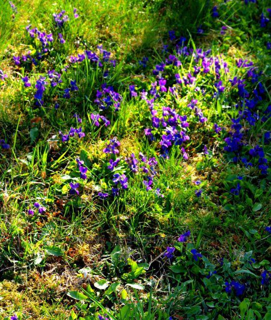Koberec fialek u Dubové