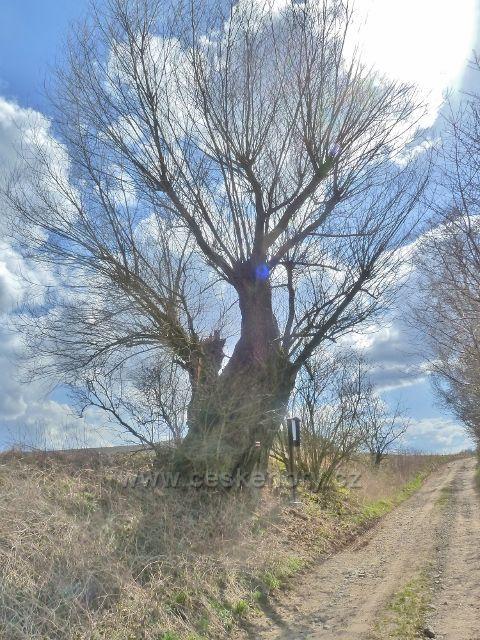 Letohrad - památná Vondrova vrba