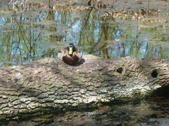 Kostelec nad Orlicí - kačer březňačky na tůňce v zámeckém parku