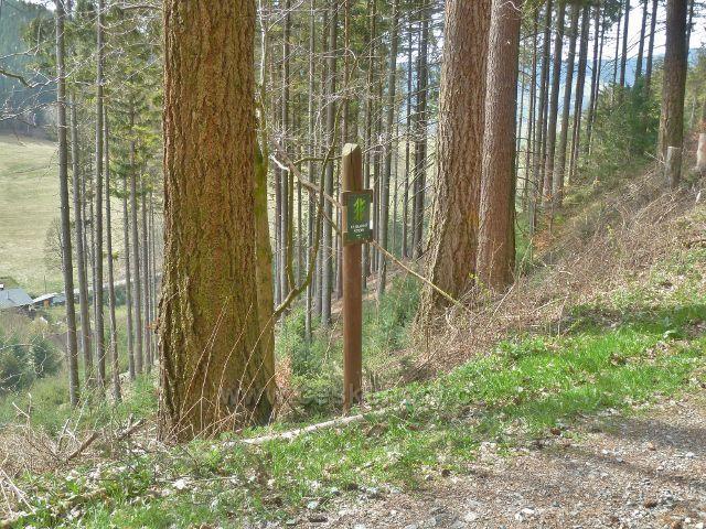 Horní Orlice - skupina douglasek pod vrstevnicovou cestou vedoucí po úbočí Lískovce
