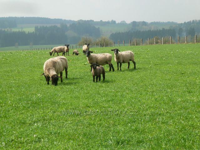 Rokytnice v O.h. - pastva ovcí u cesty k Dolnímu dvoru