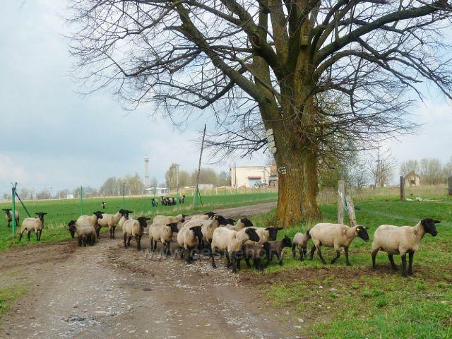 """Rokytnice v O.h. - ovce na rozcestí """"Pod Rokytnicí """""""
