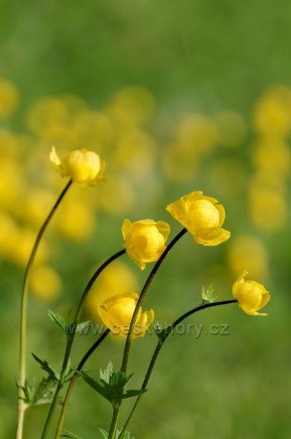 Úpolín -  z krásně kvetoucí louky pod Bukovcem.