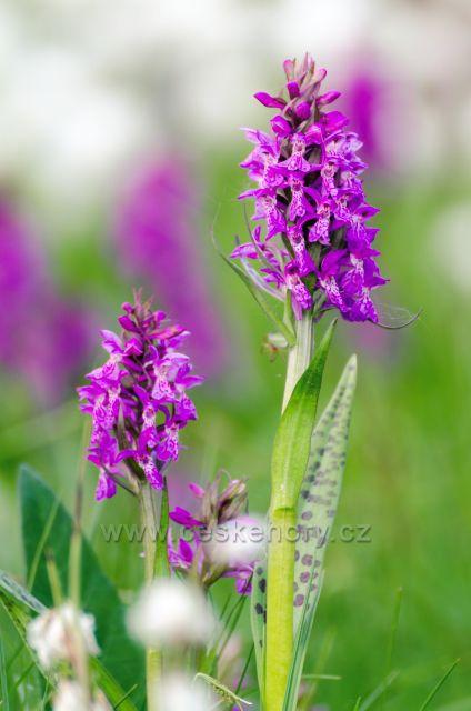 Jizerská orchidej - Prstnatec májový - chráněný