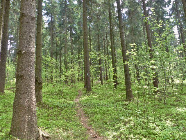 Písařov - pěšina lesním porostem stoupá k partyzánským bunkrům na vrchu Čečola