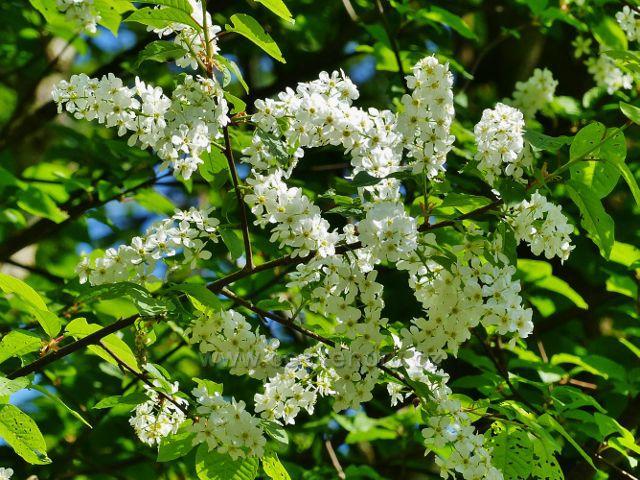 Kvetoucí střemcha obecná nad Mlýnickým Dvorem