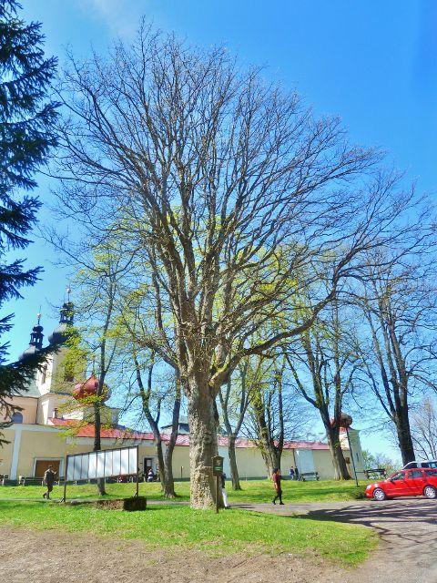 Památný strom v poutním areálu Hora Matky Boží