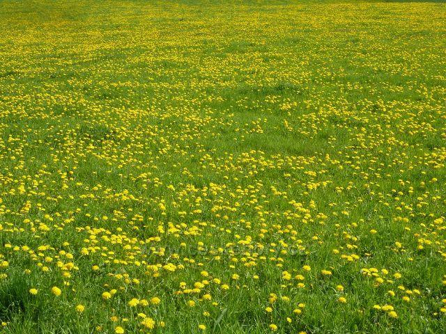 Podlesí - pastviny pod Podlesím zaplavily květy pampelišek