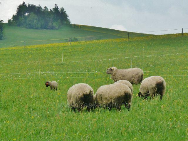 Králíky - pastva ovcí na úpatí Mariánské Hory