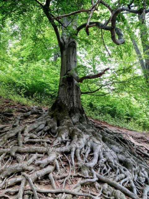 Hukvaldy-staré bukové kořeny