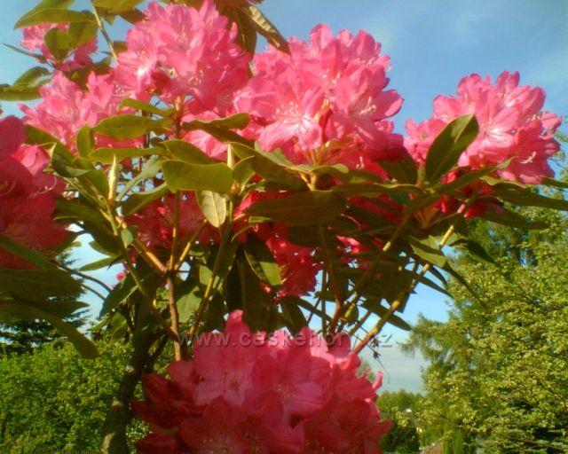 Rododendron ve Smrčinách (patří pod Krušné hory)v Aši. Druhé foto:Smrk ze Smčin 2010.