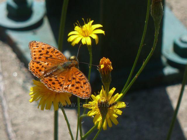 Moravský Karlov - motýl perleťovec v údolí Březné