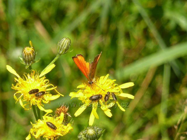 Moravský Karlov - motýl ohniváček v údolí Březné