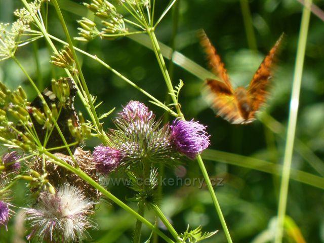 Moravský Karlov - perleťovec právě odstartoval z květu bodláku za další potravou