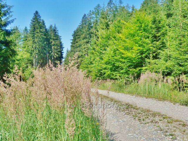 mLADKOV - zlaté klasy kvetoucí trávy lemují vrstevnicovou cestu k Boudě