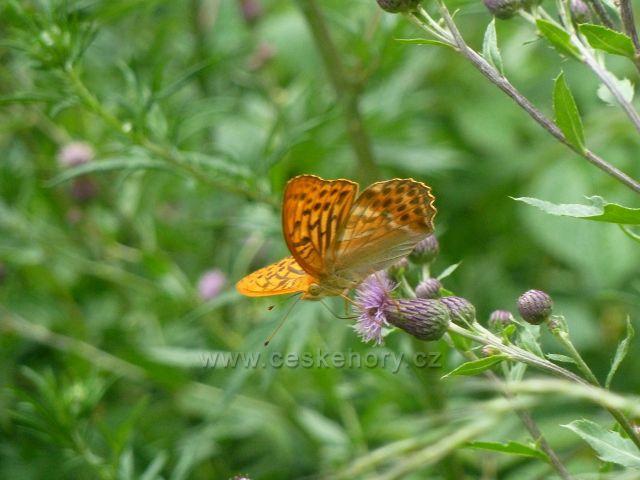 Bohdíkov - motýl perleťovec u cesty po žluté TZ do Komňátek