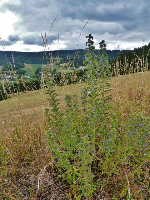 Bohdíkov - modře kvetoucí hadinec obecný na okraji pastviny nad Štědrákovo Lhotou