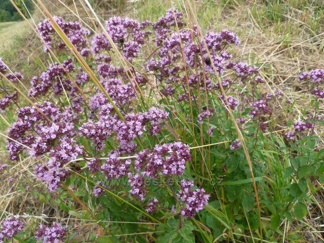 Bohdíkov - fialově kvetoucí dobromysl obecná, známá a používaná jako koření Oregano roste i na pastvinách nad Komňátkama