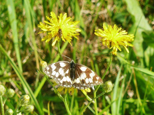 Písařov - motýl okáč bojínkový u cesty po Hřebínku