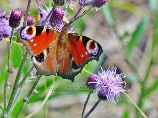 """Malá Morava - motýl babočka paví oko u cesty nad křižovatkou """"Paramuť"""""""