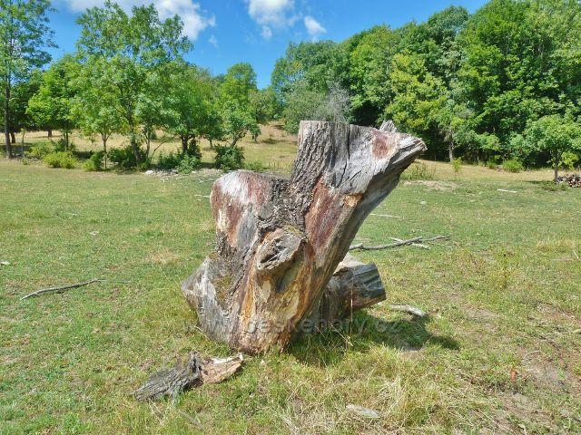 Štědrákova Lhota - torzo zbytku pokácené staré lípy u pastviny nad obcí