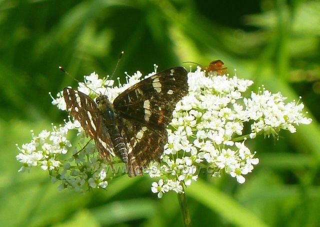 Hostice - motýl bělopásek u silničky do Hostic