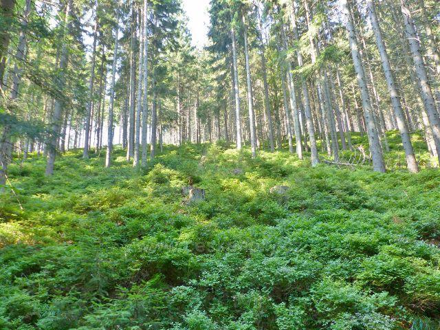 Podrost borůvčí na úbočí vrchu Hleďsebe