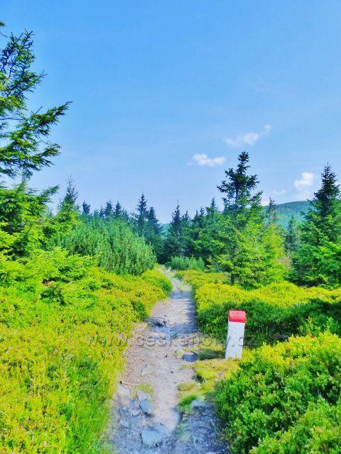 Dolní Morava - koberce borůvčí lemují hraniční cestu přes vrchol Hleďsebe