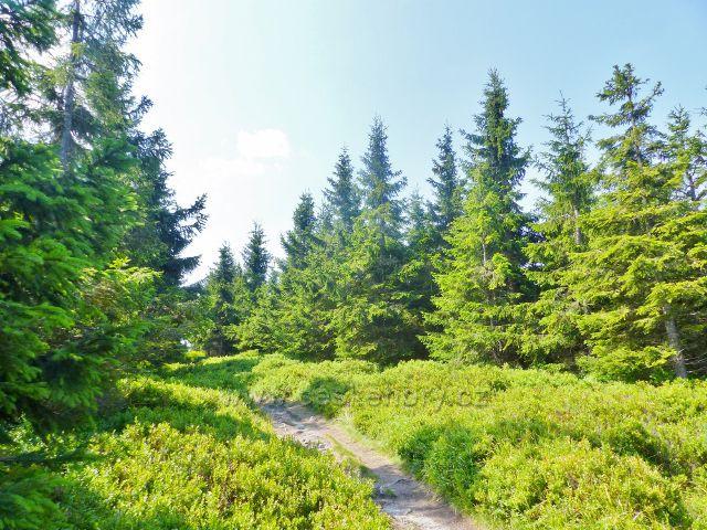 Dolní Morava - všudepřítomné borůvčí na hraniční stezce přes vrchol Hleďsebe