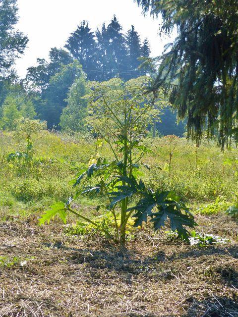 Mariánské Lázně - invazní a jedovatý bolševník velkolepý se u nás v hojné míře vyskytuje právě ve Slavkovském lese