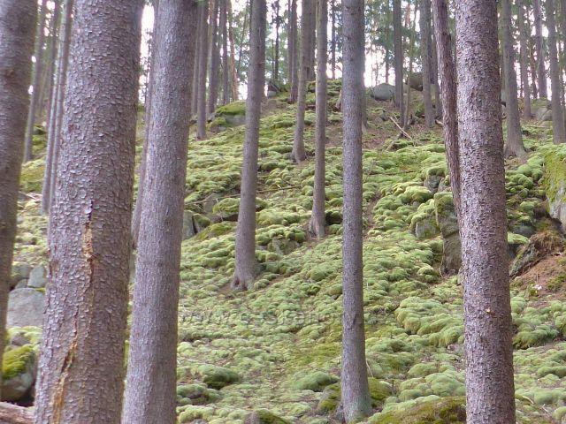 Bečov nad Teplou - kamenitý svah nad cestou po zelené TZ ke Třem rybníkům je porostlý polštáři bělomechu sivého