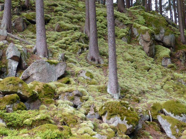 Bečov nad Teplou - polštáře bělomechu sivého nad cestou po zelené TZ ke Třem rybníkům