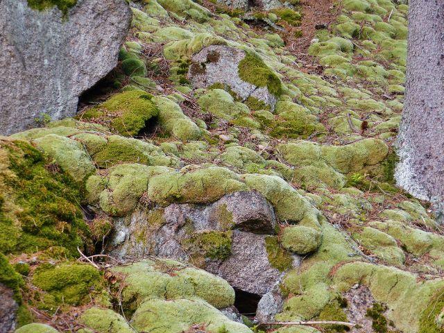 Bečov nad Teplou - bělomech sivý nad bývalou vodárnou u cesty po zelené TZ ke Třem rybníkům