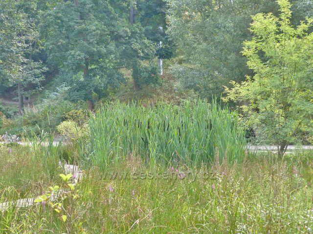 Bečovská botanická zahrada - skupinka orobince u  Korunního rybníku