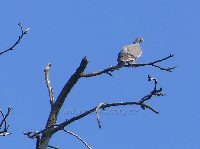 Aš - holub hřivnáč pod rozhlednou Háj