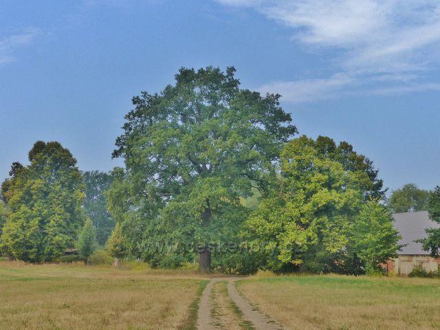 Cheb - letitý dub u Dvora pod lipami