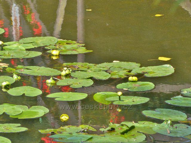 Cheb - kvetoucí stulík žlutý pod červenou lávkou v areálu Krajinka