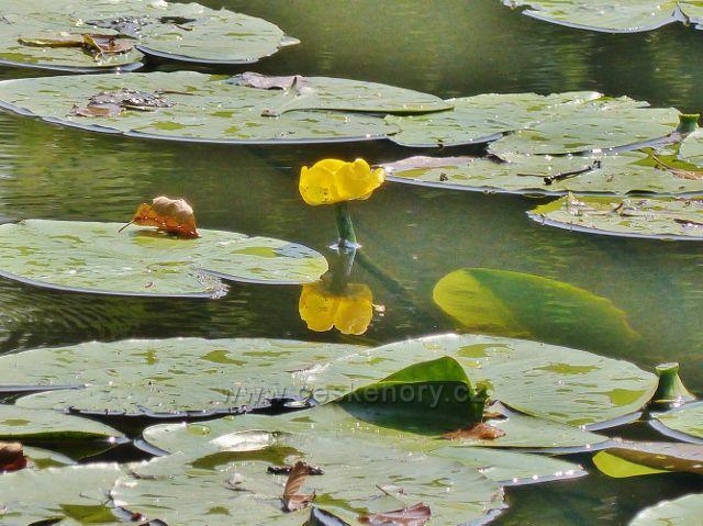 Cheb - kvetoucí stulík žlutý na Ohři