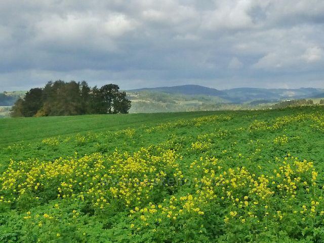 Bystřec - kvetoucí řepka na úbočí Cikánského kopce
