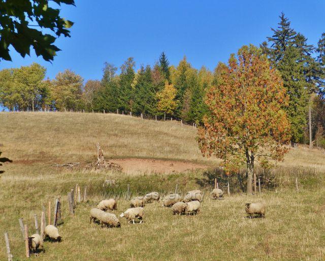 Petrovičky - ovce na pastvě pod hraničním přechodem do Polska