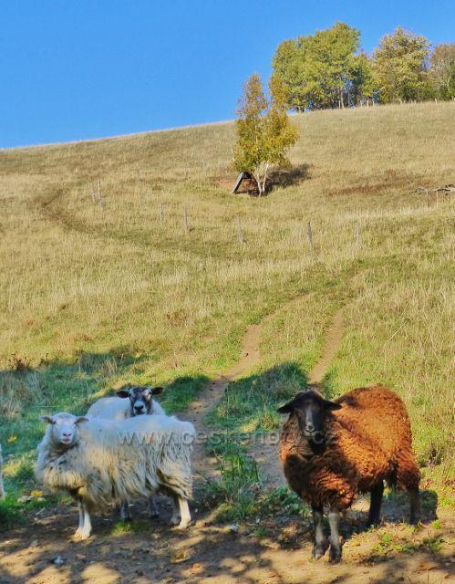 Petrovičky - pastva ovcí nad salaší u hraničního přechodu do Polska