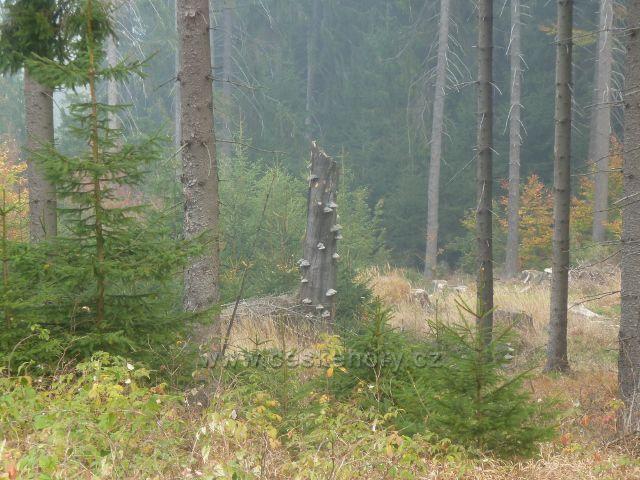 Lichkov - choroše na buku pod Mladkovskou bunkrovkou na úbočí vrchu Vysoký kámen