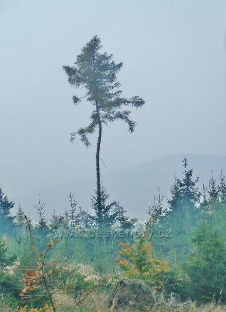 Mladkov - modřínový výstavek na úbočí vrchu Vaysoký kýmen