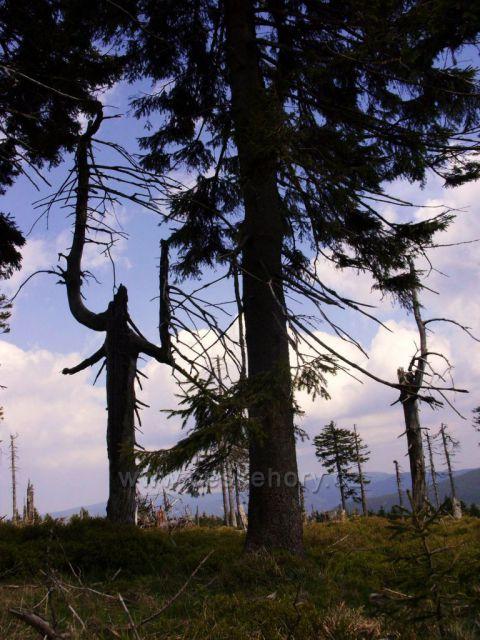 Pralesovitý porost na Červenohorském sedle