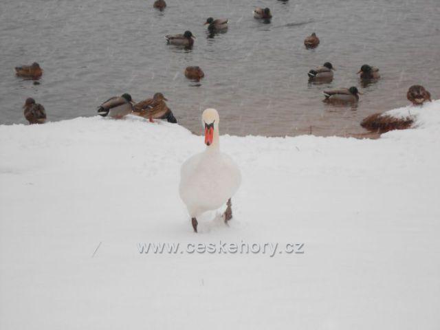 zima u Nového rybníka v Chlumci