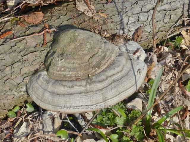 Troudnatec kopytovitý na padlém kmenu na břehu Rokytenky