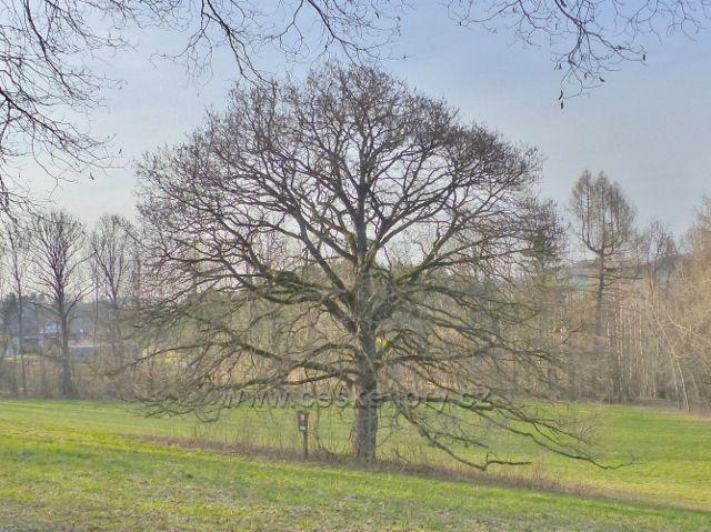 Památný strom líska čínská(stáří 110-130 let) pod albertinským parkem