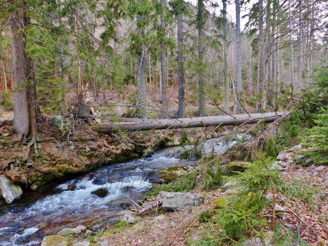 Vývrat přes řeku Moravu