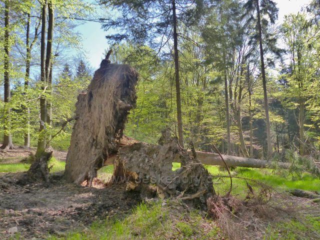 Oběť vichřice na podmáčené lokalitě pod Předním vrchem