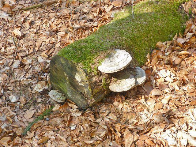 Troudnatec kopytovitý na zbytku starého kmene